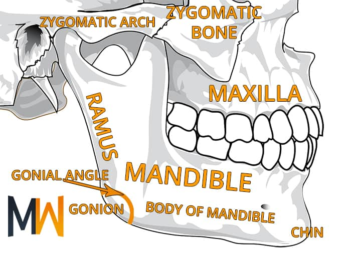 jaw anatomy